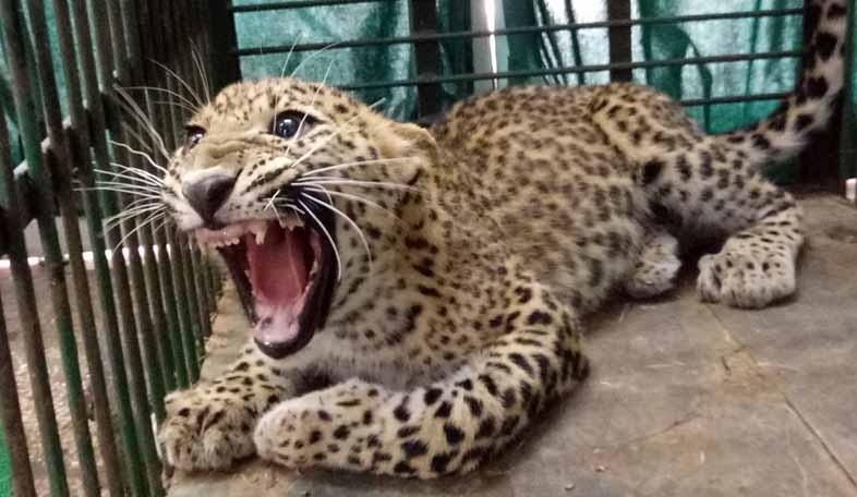 leopard Jhalana park