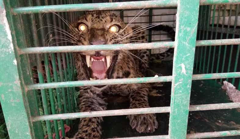 panther representative