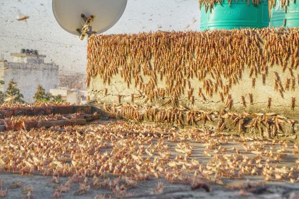 Muralipura, Vidhyadhar Nagar residents battle 'Tiddi' (locust) attack
