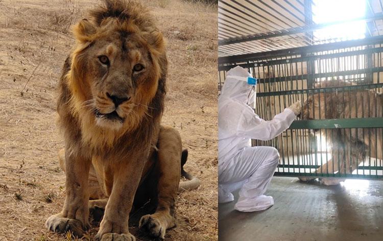 lion covid-19 positive