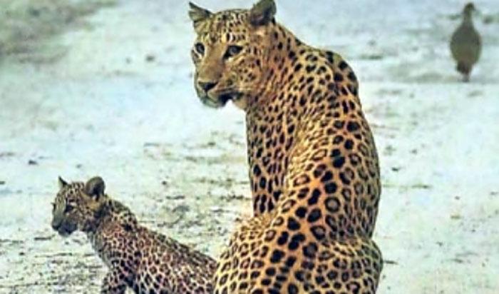 leopard jhalana flora